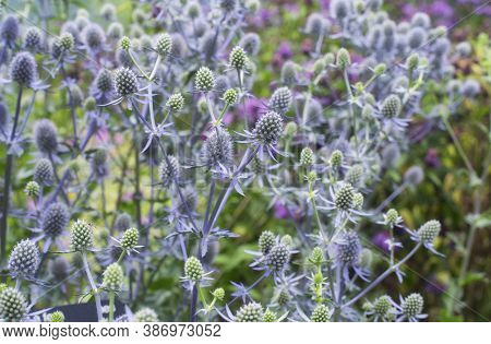 A Field Of Green And Lavendar Colored Flat Sea Holly, Eryngium Planum, Blooming In The Montreal Bota