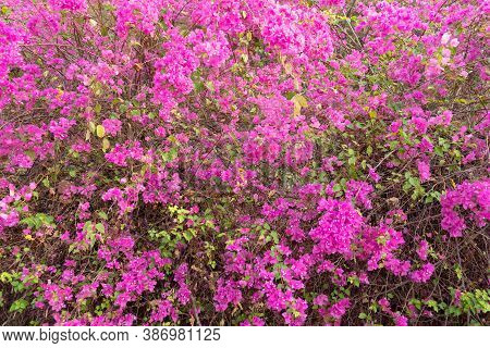 Beautiful Bougainvillea Flower In The Nature ,provincial Flower Of Phuket Thailand