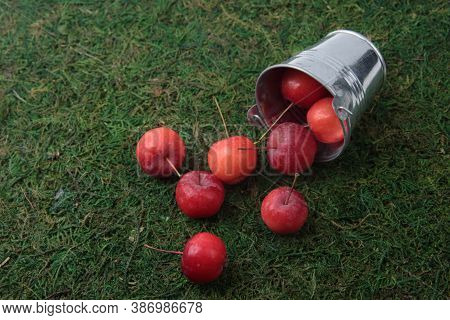 A Bucket Of Red Apples Isolated On Green Grass Background Flat Lay. Gardening Concept. Image Contain