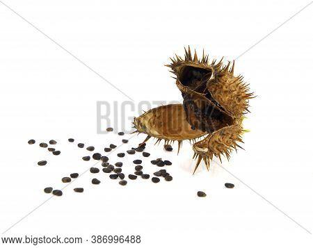 Pod And Seeds Of Jimson Weed Isolated On White Background. Datura Stramonium