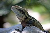 Close up image of an Australian bearded Dragon Lizard momentarily stopped on the crest of a large boulder. poster
