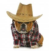 country dog - english bulldog puppy dressed up in western clothes and hat on white background poster
