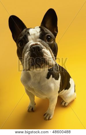 poster of Full length portrait of French bulldog sitting on yellow background
