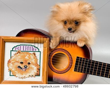 Two puppies of breed a Pomeranian spitz-dog in studio