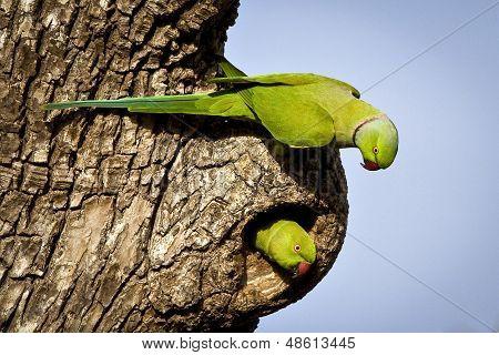 rose-ringed parakeet pair