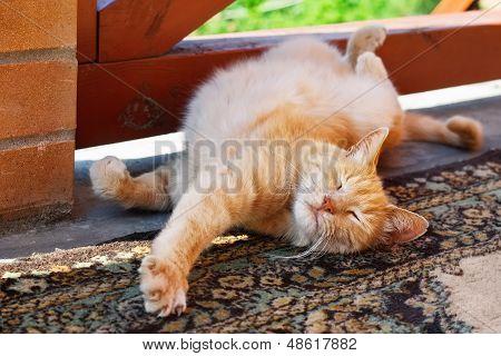 Red Cat Scratching Himself