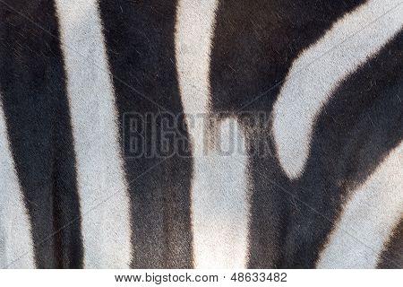 Fur Detail Of A Zebra