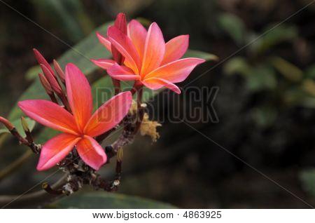 Hawaiian Pink Plumeria