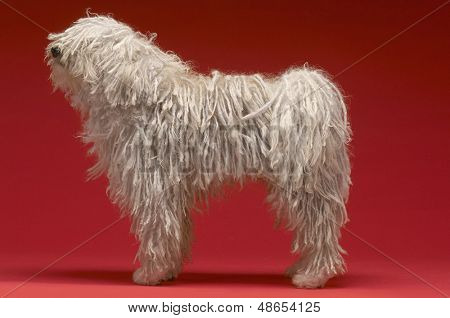 poster of Full length side view of Hungarian shepherd dog on red background