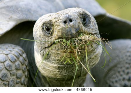 Gal?pagos Giant Tortoise eating grass for breakfast at the Copenhagen Zoo poster