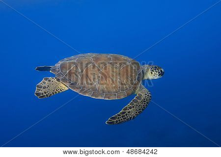 Green turtle, Chelonia mydas, swimming over blue sea space for your text