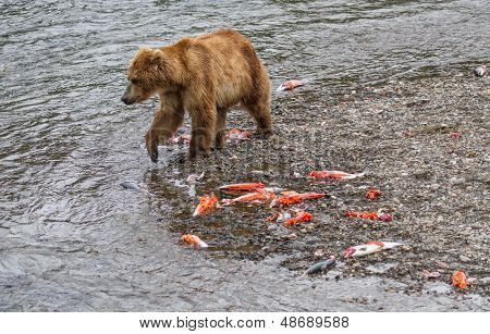 Brown Bear Walking By The Carcasses Of Salmon