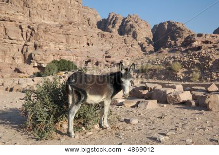 Petra in Jordan - the donkey. Middle east poster