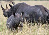 An adult female black rhino and its calf taken in the Masai Mara Kenya. October 2008 poster