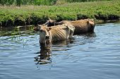 Cows taking a bath in the river. Danube delta, Romania poster