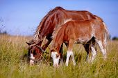 Red horses. The horses is grazed. Horses on a pasture. The horses eats a grass. Mare with a foal on a meadow. poster