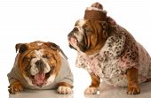 bulldog bullying - english bulldog laughing at another dressed up in fur coat and pillbox hat poster