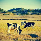 picture of some cows grazing in Menorca, Balearic islands, Spain, with a retro effect poster