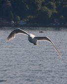 backlit seagull in flight with one red eye one blue eye poster