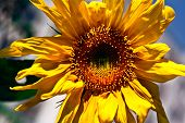 yellow flower-sunflower with blue background on afternoon poster