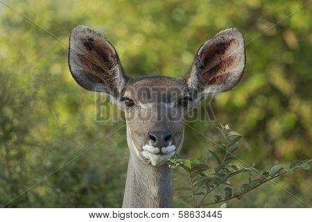 Female Greater Kudu (tragelaphus Strepsiceros) South Africa