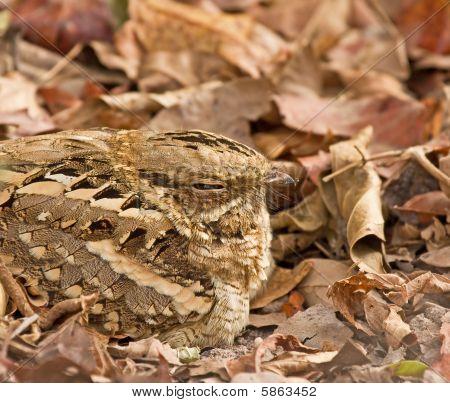 Long-tailed Nightjar Close-up