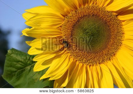 Sunflower and a bumblebee
