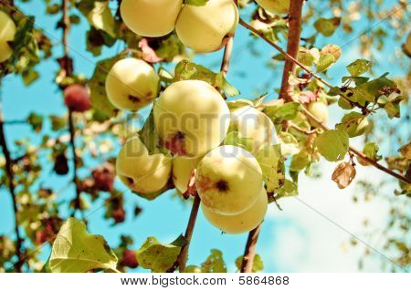 Apples on an apple tree in an orchard poster