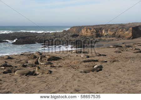 Elephant Seals on California Beach