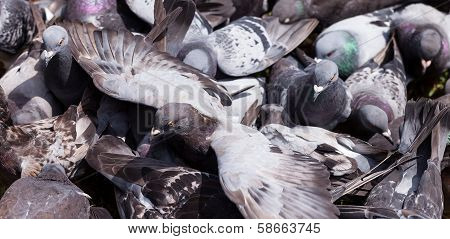 Pigeon With Wings Outstretched In The Middle Of A Crowd Feeding