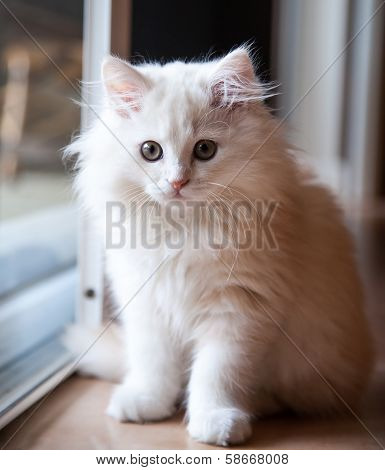 White Long-haired Kitten Waiting At The Door