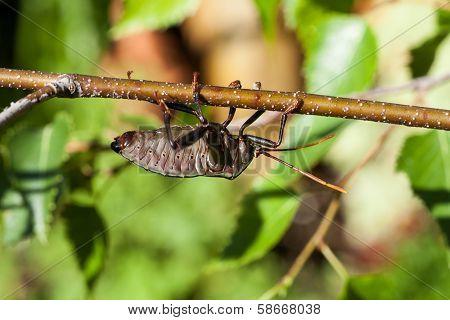 Stink Bug (bronze Orange Bug) On A Birch Branch
