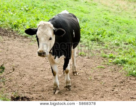 Young Fresian Cow Standing Alone in Field