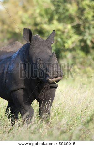 Close up photo of a baby White Rhino feeding poster