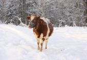 Spotty cow on snow against snow-covered wood, winter poster