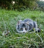 Cat stalking in the grass on a farm in Devon England. poster