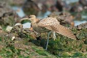 A Whimbrel (Numenius Phaeopus) on one leg stretching by a tidal pool poster