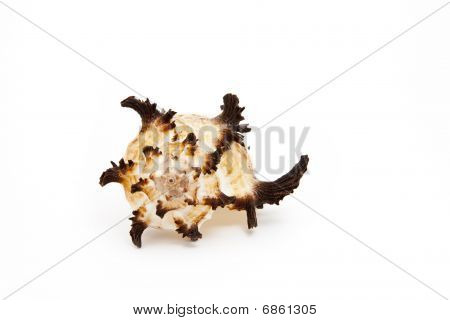 Beautifull and weird seashell isolated on white background poster