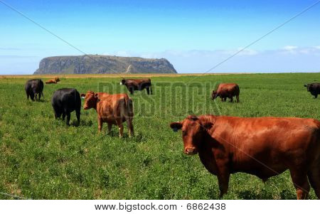 Cattle at Stanley