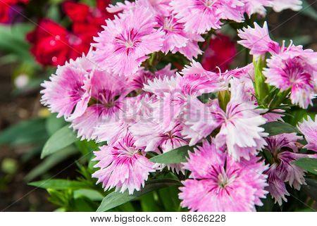 Pink Flower In Northern Of Thailand