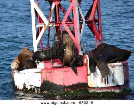 A group of sea lions sunning on a buoy outside Santa Barbara, California poster