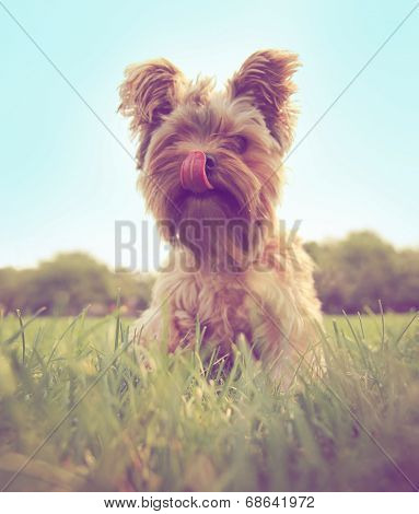 a cute yorkshire terrier toned with a retro vintage instagram filter  poster