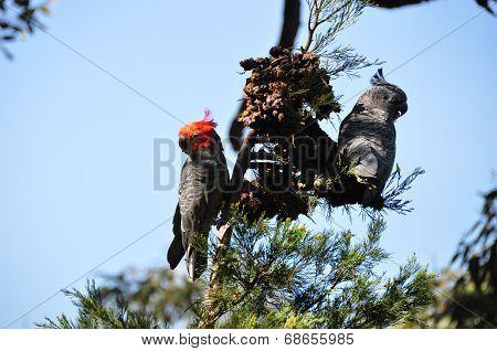 Gang-gang Cockatoo  Lunching