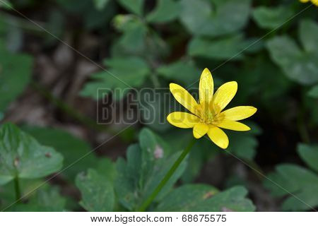 Single Lesser Celandine Flower In The Forest
