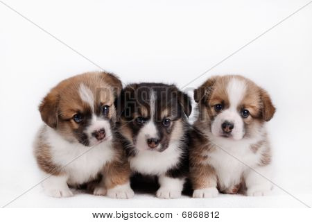 dog, puppy, pet,  breed,welsh, corgi, pembroke, welsh corgi pembroke poster