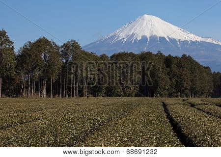 japanese green tea farm and mountain fuji in background