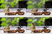 Streak-eared Bubul bird eating ripen banana on table poster