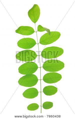 Green leaf of acacia . Design Element