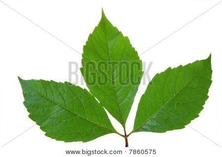 Green leaf of chestnut . Design Element