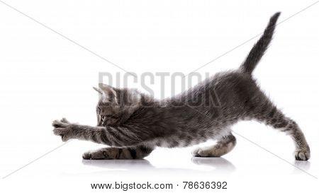 Gray Striped Kitten.